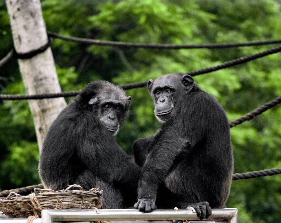 Deux singes noires assis en Tanzanie