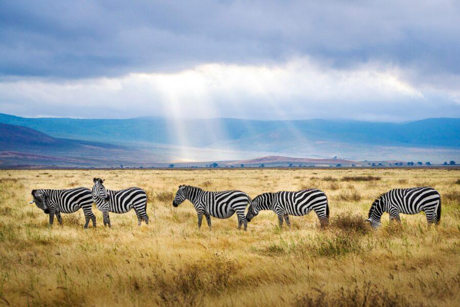 Cinq zèbres dans une prairie en Tanzanie