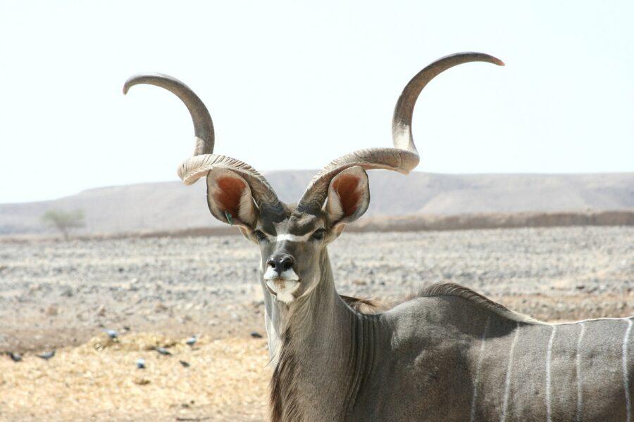 Un Grand Koudou de Tanzanie
