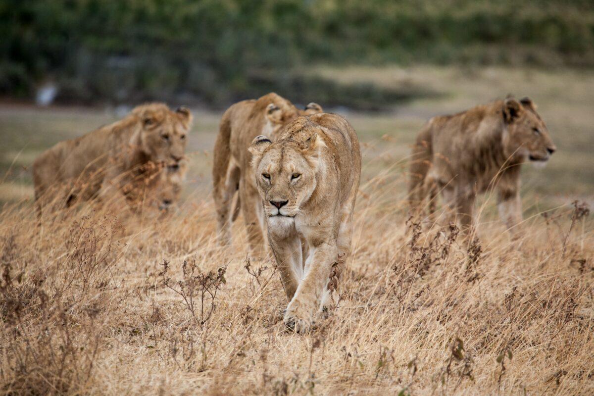 4 lions se déplacent dans le parc national de Ngorongoro. Pour aller en Tanzanie, il faut un E-visa