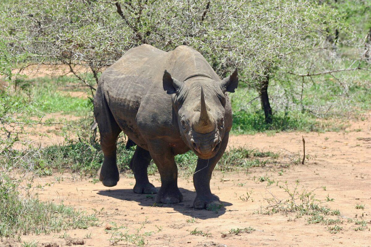 Un rhinocéros noir dans le cratère de  Ngorongoro