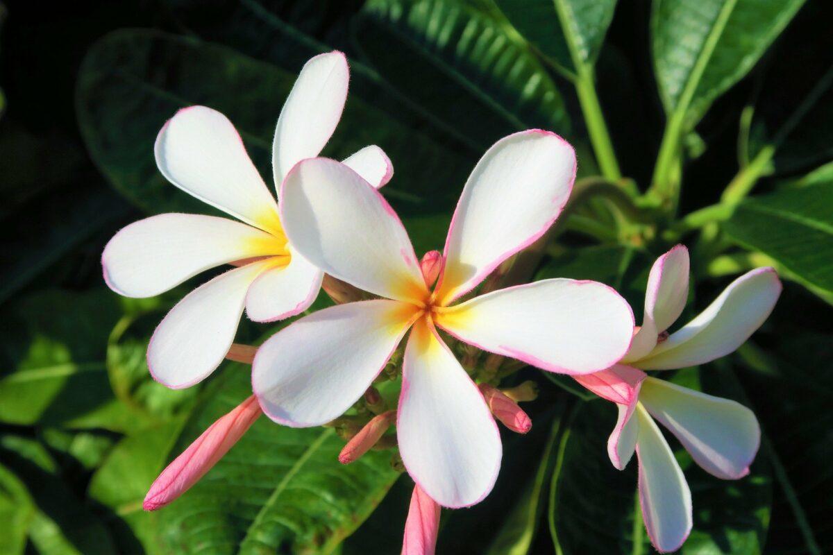 Une fleur blanche exotique rencontrée lors d'un voyage en Asie. Ne pas cueillir des fleurs dans la nature
