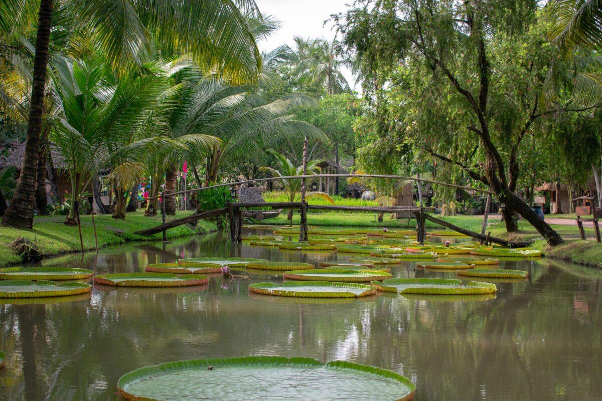 Un pont en bois sur une rivière de lotus