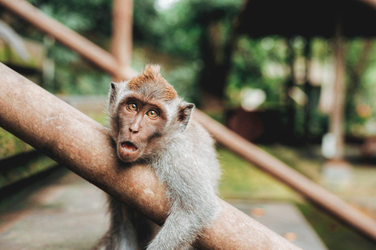 singe qui fait une grimace dans la forêt appuyé sur un tronc d'arbre