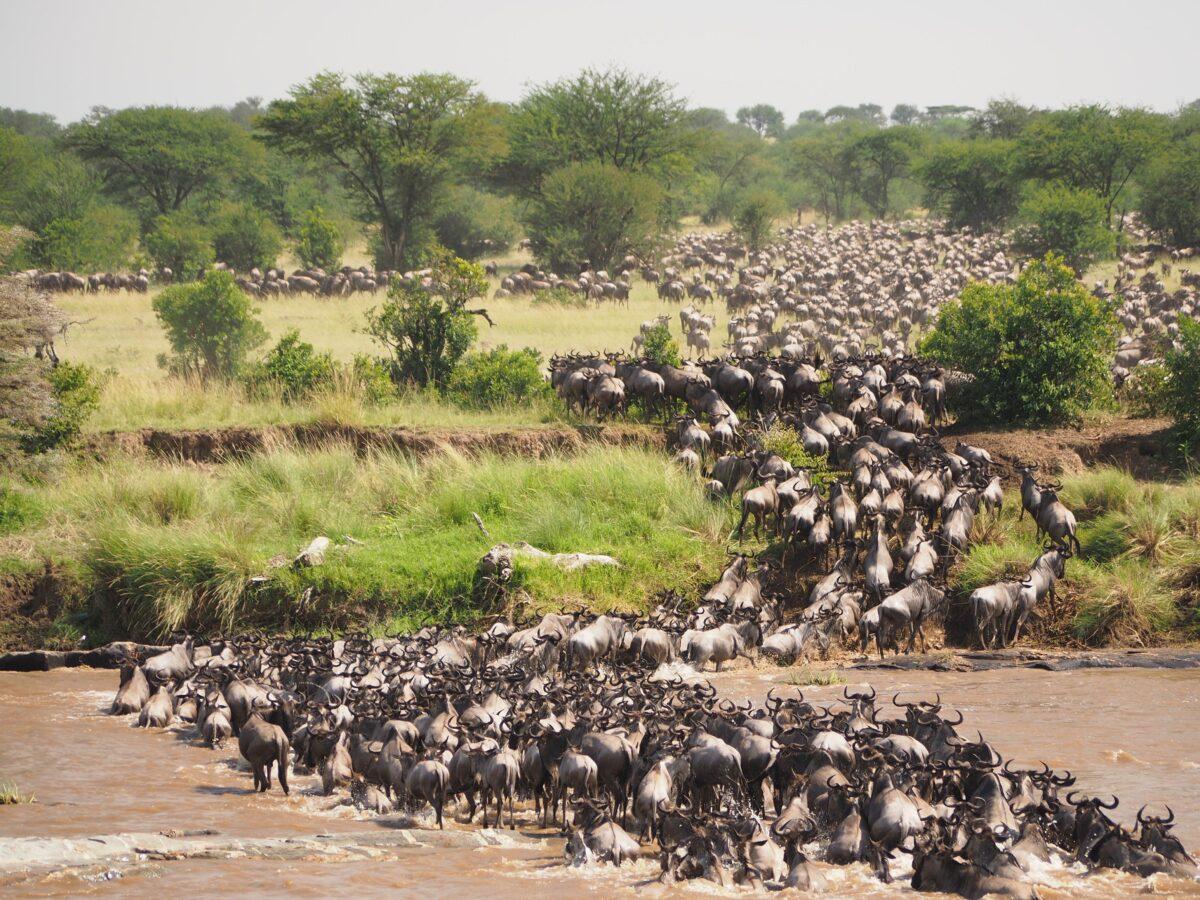 La migration des gnous au parc de Serengeti