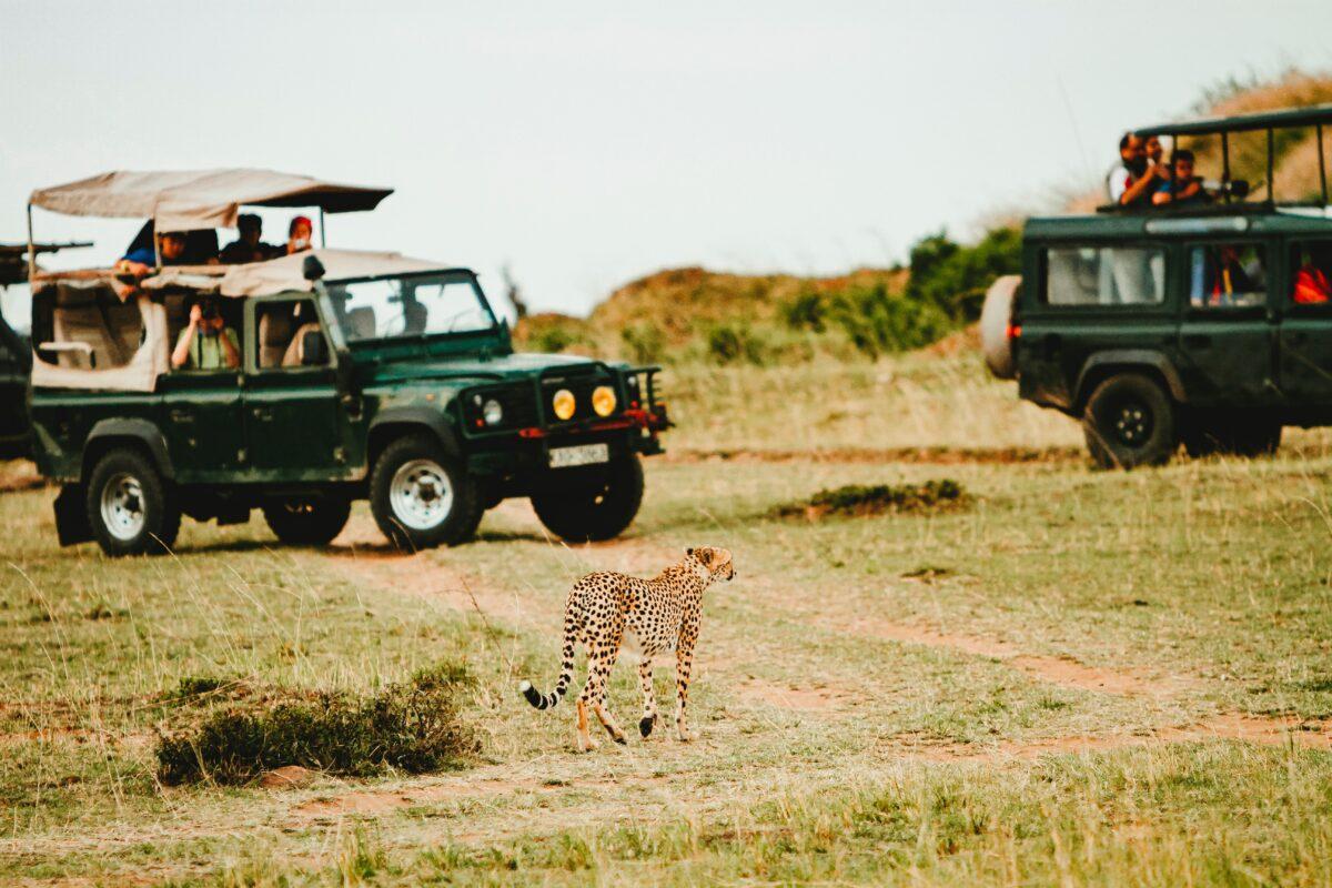Des jeep avec un léopard