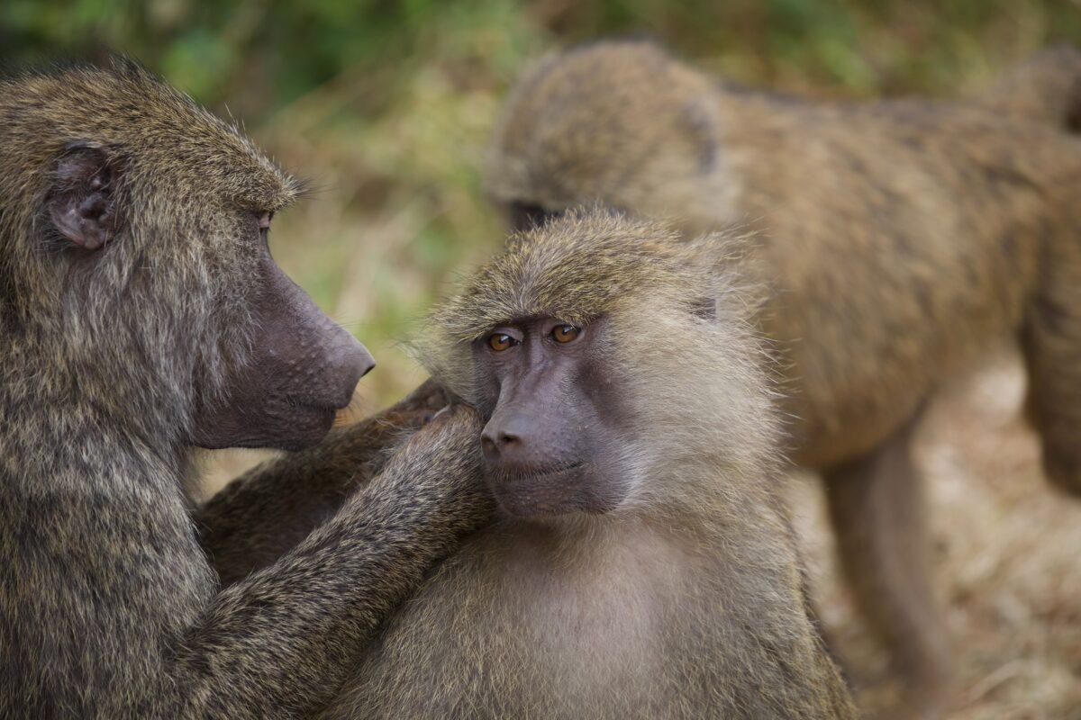 Des singes à Zanzibar