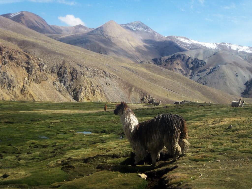 Un paysage avec des alpagas