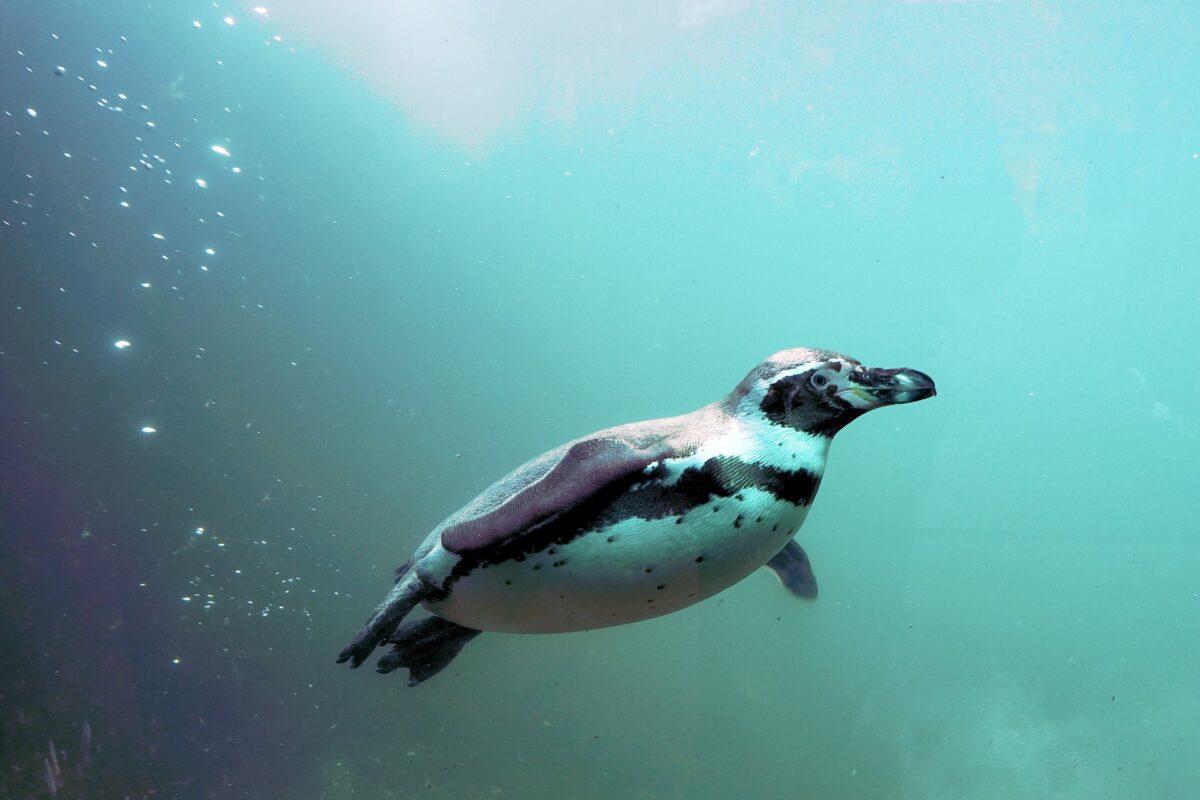 Un pingouin de Humboldt