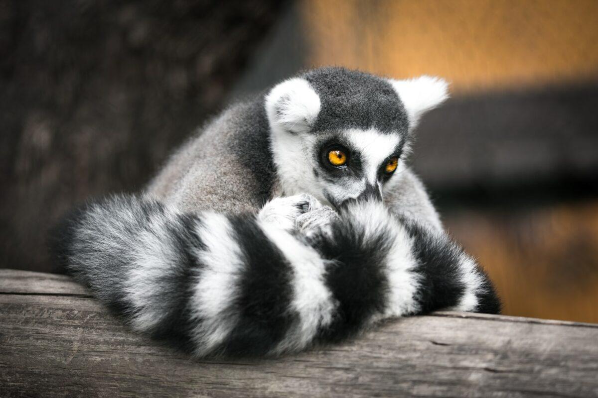 lémuriens Madagascar posé sur une branche en bois