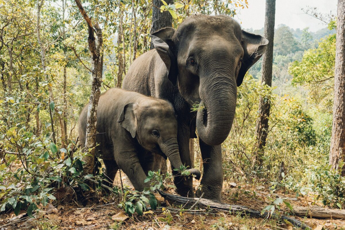elephants jungle nord thailande Chiang dao