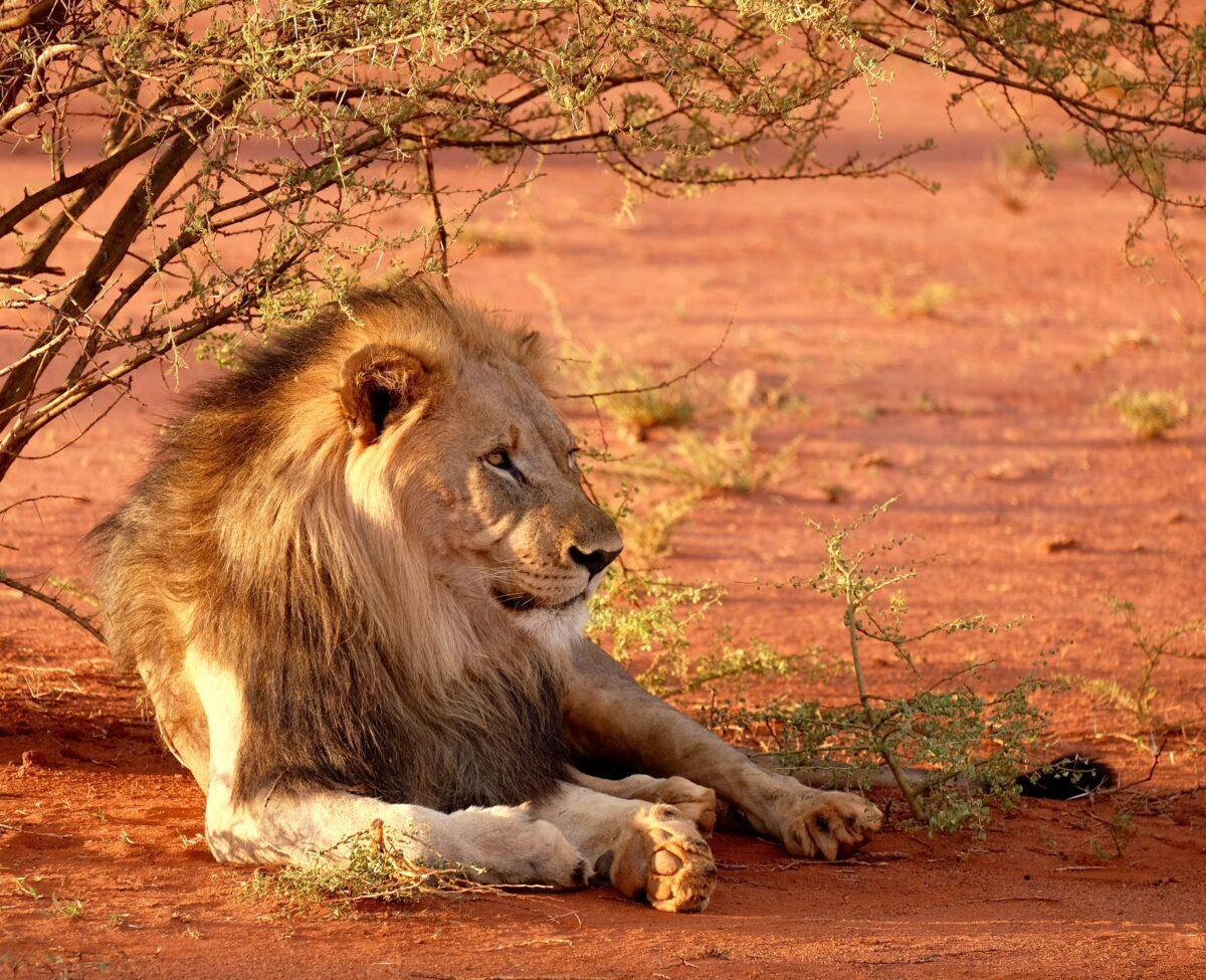 animaux lion