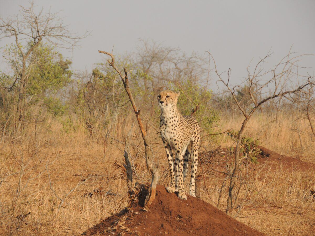 animaux guépard