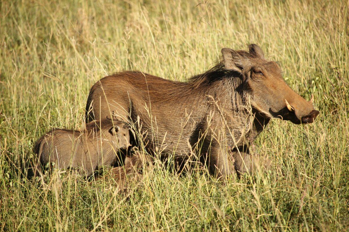 Kalahari phacochère